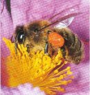 Biene beim Pollensammeln in Blüte